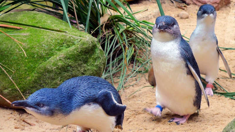 aussie-animals-penguins