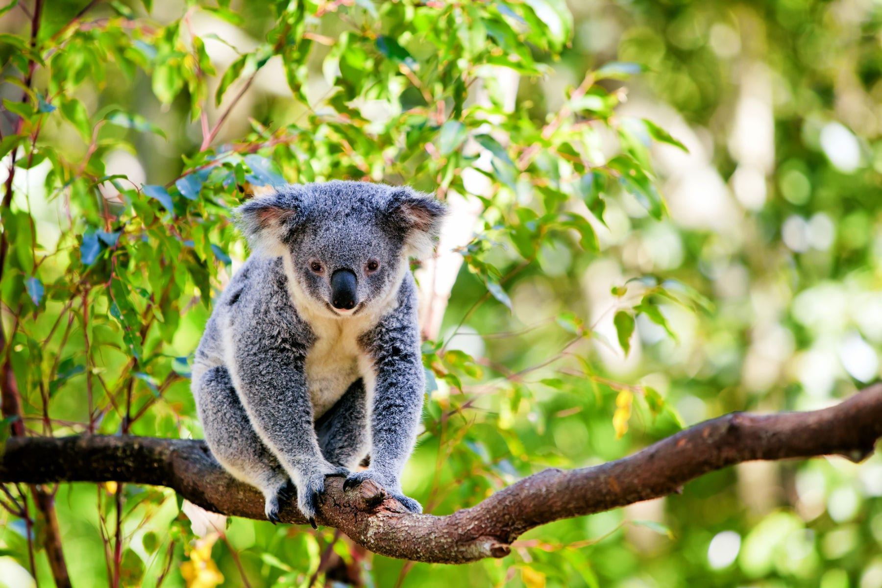aussie-animals-koala
