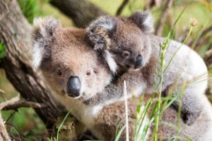 port-stephens-koalas
