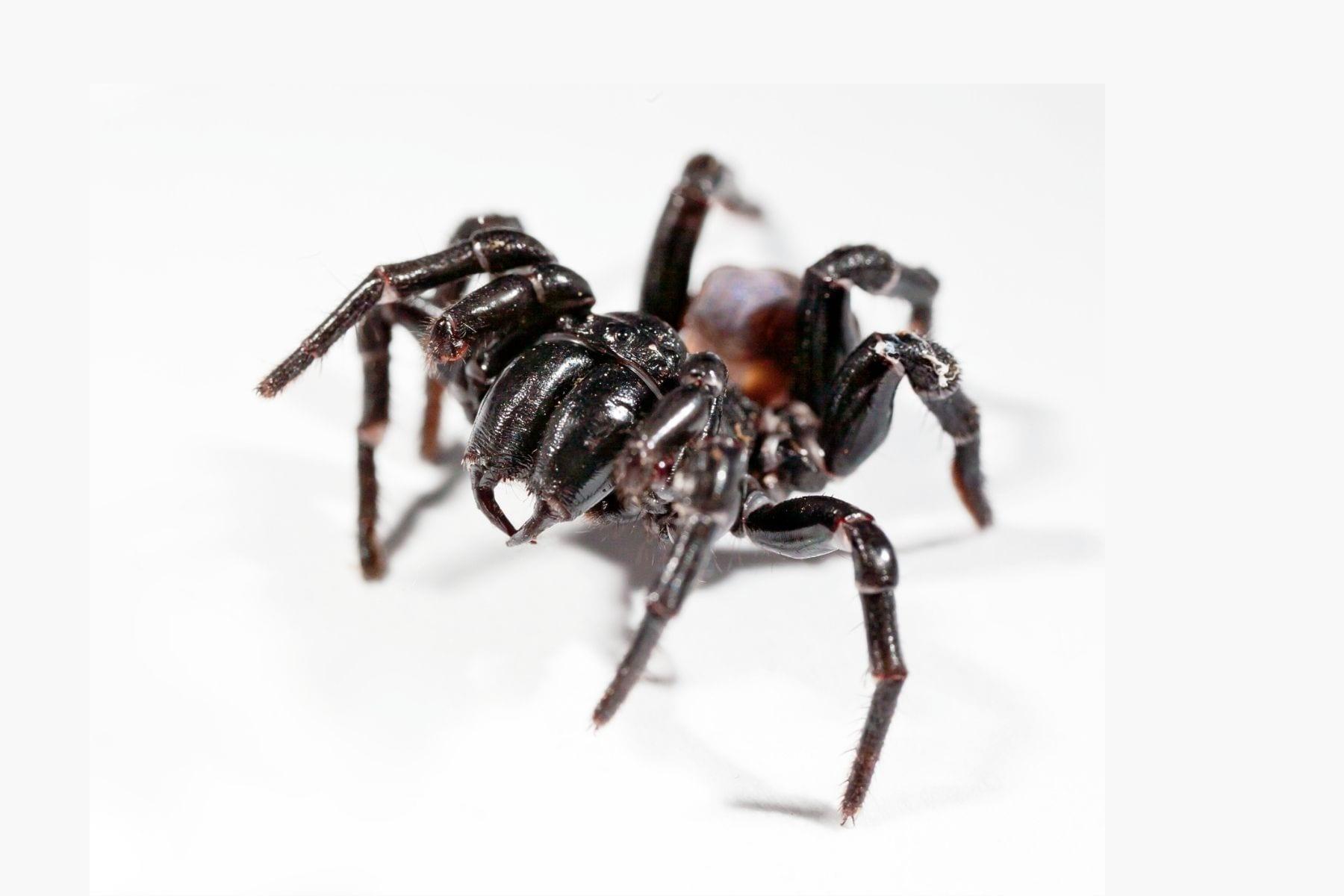 funnel-web-spiders-Lake-Macquarie-main