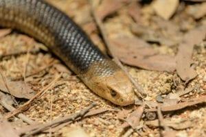 common-snakes-in-lake-macquarie