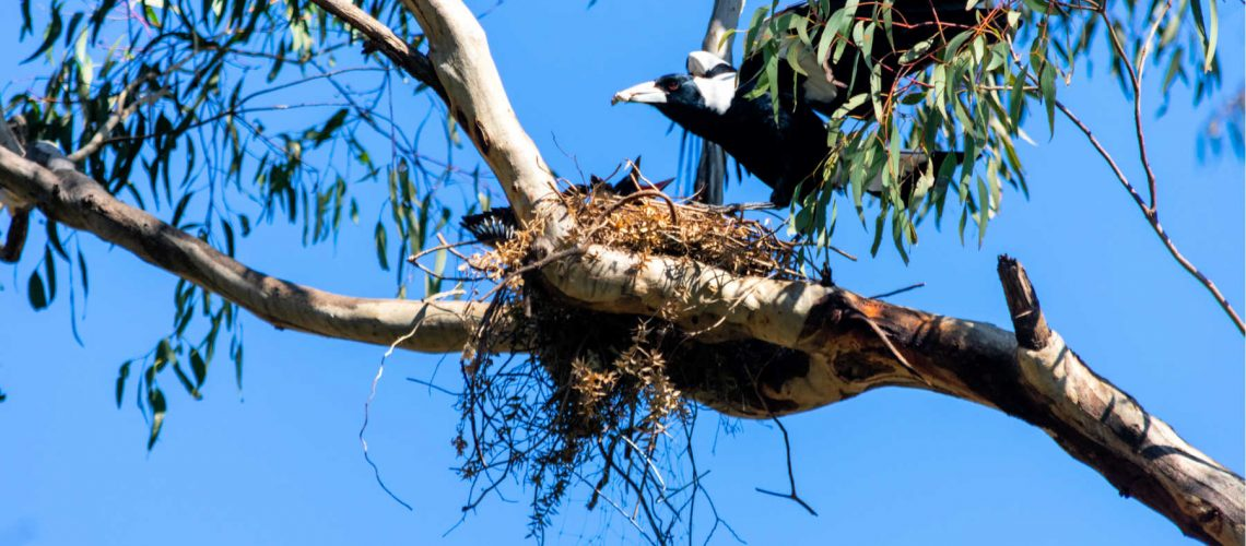 magpie-swooping-birds-main